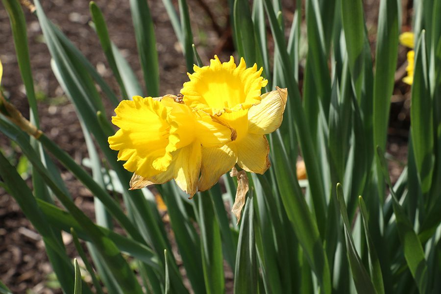 Yellow daffodils blow in the wind at the base of the Legacy Cross.