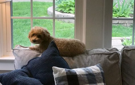 Now that she cannot come to school each day, Muffin keeps watch at home.