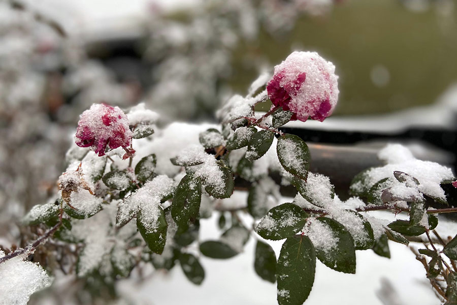 The first snow of the school year fell last year on Nov. 10 and covered plants on the campus. Snow this year probably won't result in a snow day, due to having eLearning days as an option.